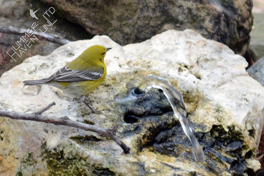 3-14-14 Pine Warbler at Bubbler Basin