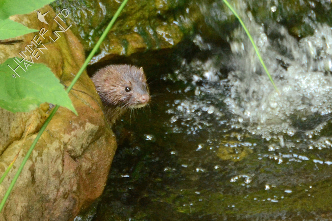 American Mink pokes his head out of a crevice