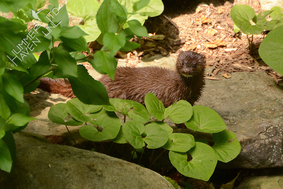 American Mink pauses and looks up at me