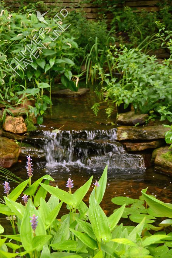 Pickerel Weed (Pontederia cordata) in the Water Garden 6/18/15