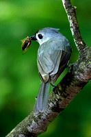 Tufted Titmouse with Cicada