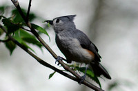 Tufted Titmouse with caterpillar from American Elm (Ulmus americana)
