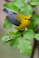 Prothonotary Warbler with caterpillar from curled leaf of Blackhaw (Viburnum prunifolium)