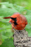 Northern Cardinal with caterpillar from Black Oak (Quercus velutina)