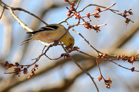 American Goldfinch eating buds of American Elm (Ulmus Americana)