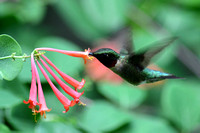 Ruby-throated Hummingbird nectars at Coral Trumpet Honeysuckle (Lonicera sempervirens)