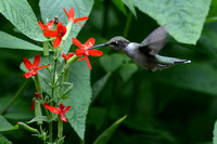 Ruby-throated Hummingbird nectars at Royal Catchfly  (Silene regia)