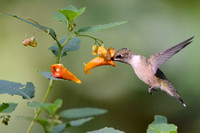 Ruby-throated Hummingbird nectars at Jewelweed (Impatiens capensis)