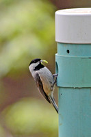 Carolina Chickadee with caterpillar to feed young