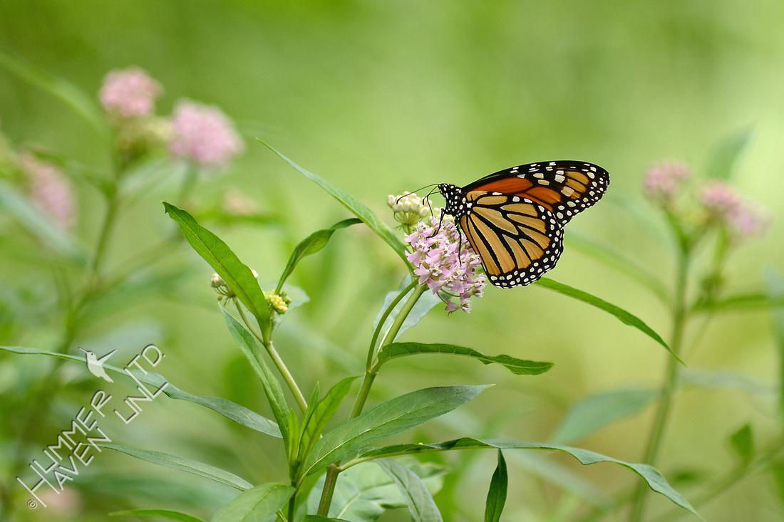 Monarch female on Marsh Milkweed (Asclepias incarnata)
