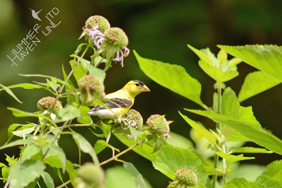 American Goldfinch on Monarda fistulosa