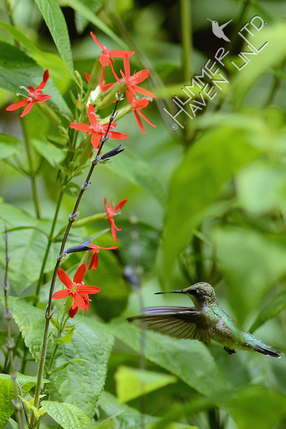 Ruby-throated Hummingbird at Royal Catchfly (Silene regia)