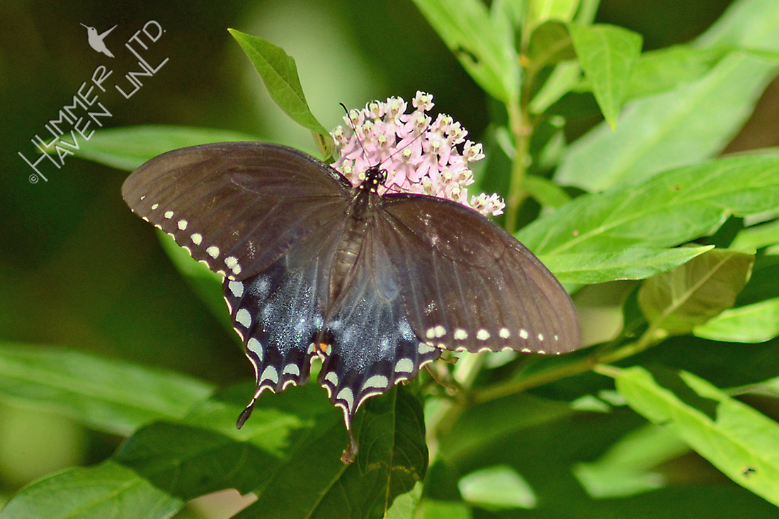 Spicebush Swallowtail female on Marsh Milkweed