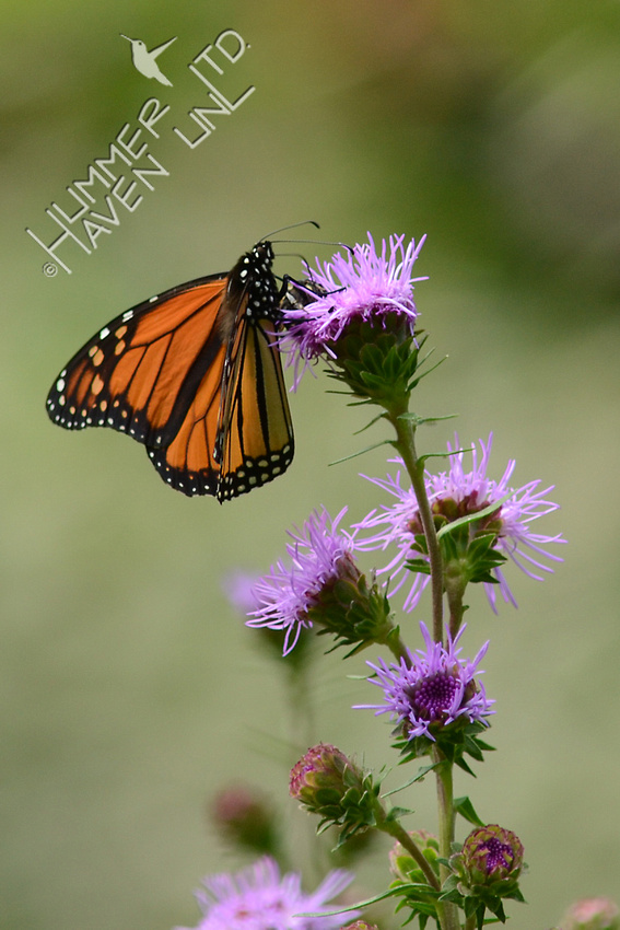 Monarch male on Eastern Blazing Star