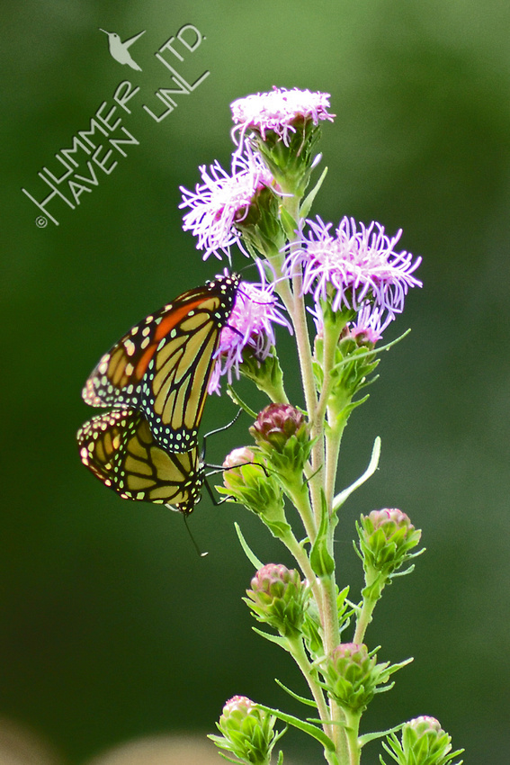 Monarchs mating on Eastern Blazing Star