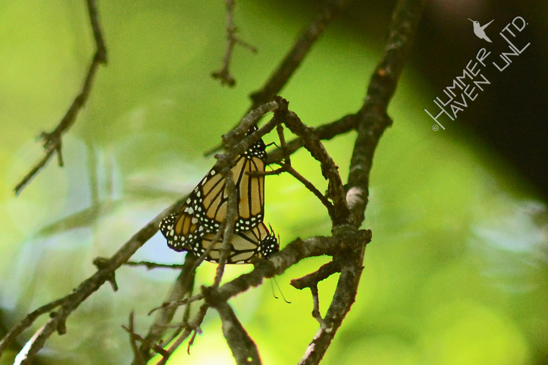 Monarchs mating on Sugar Maple