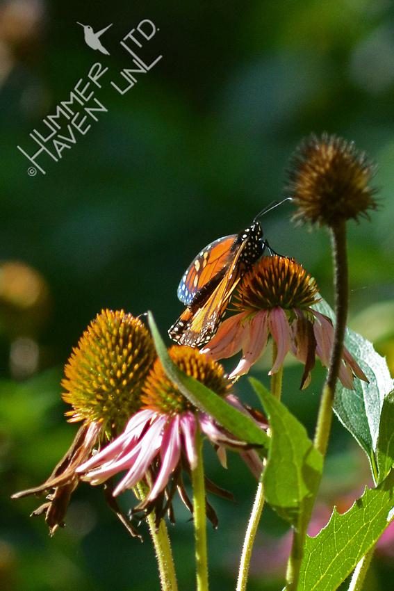 Monarch warming up on Purple Coneflower (Echinacea purpurea)