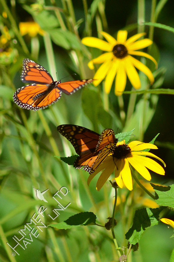 Two male Monarchs at Black-eyed Susans