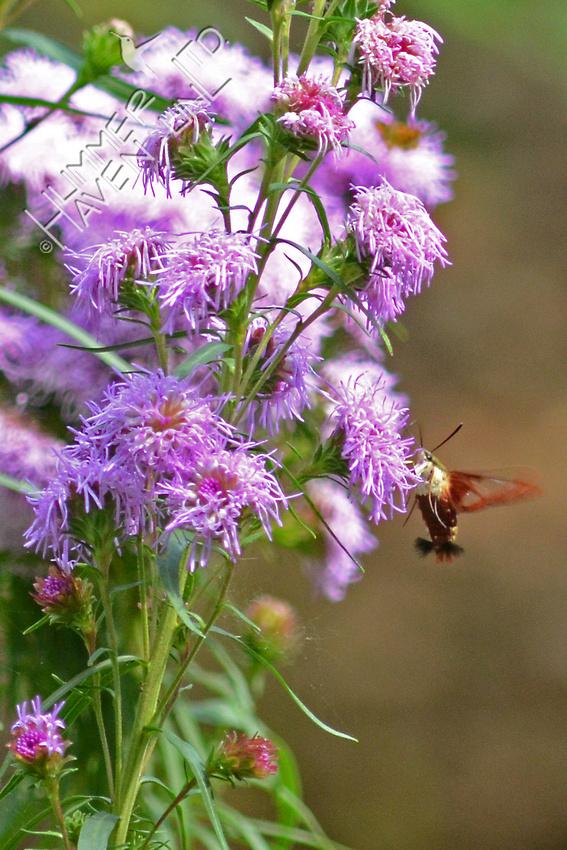 Hummingbird Clearwing Moth at Eastern Blazingstar