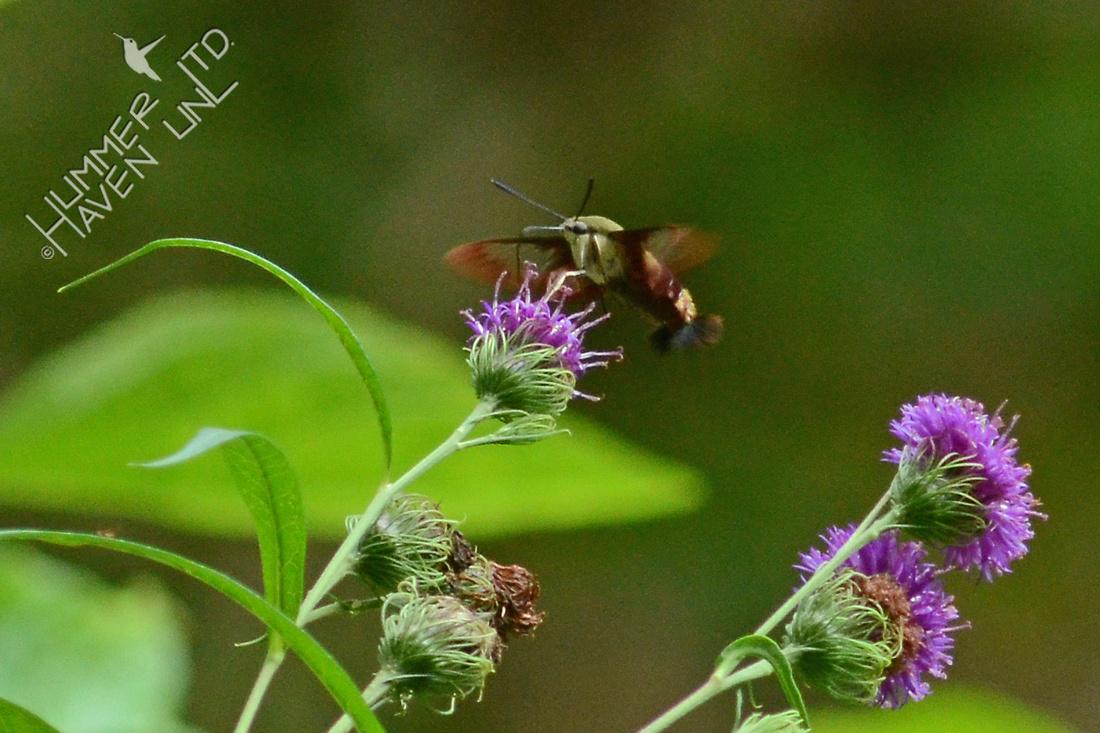 Hummingbird Clearwing Moth on Ironweed (Vernonia arkansana)