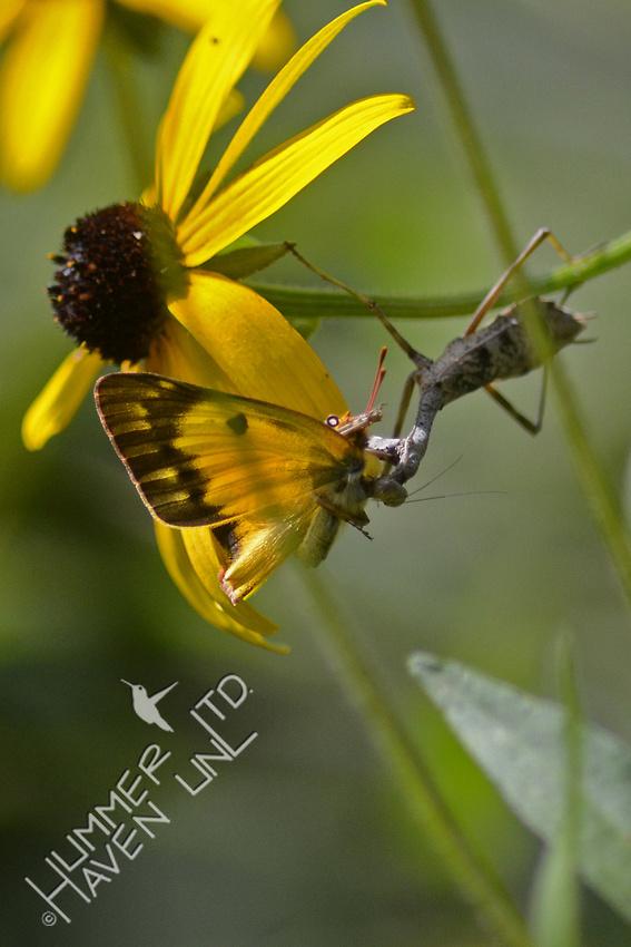 Praying Mantis capturing an Orange Sulphur Butterfly on Black-eyed Susan (Rudbeckia fulgida)