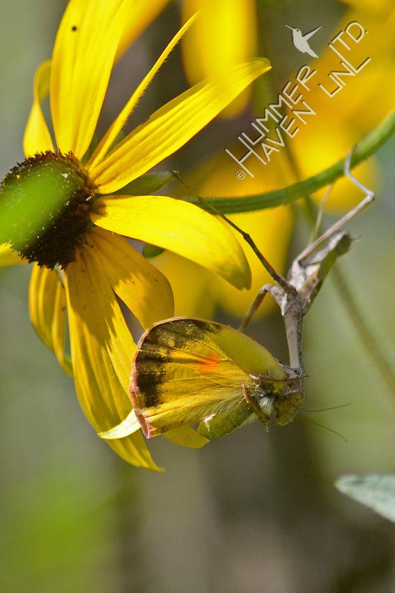 Praying Mantis eating an Orange Sulphur Butterfly on Black-eyed Susan (Rudbeckia fulgida)