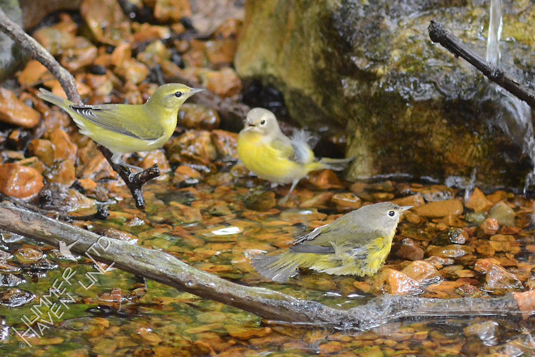 Tennessee and Nashville Warblers