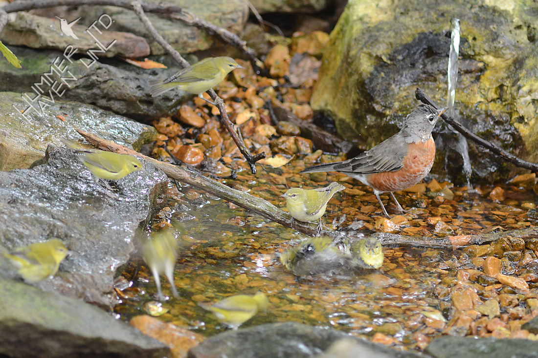 American Robin and 8 Tennessee Warblers