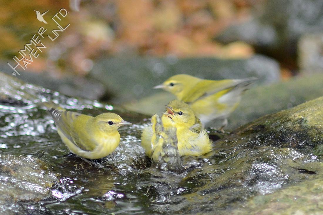 Tennessee Warblers