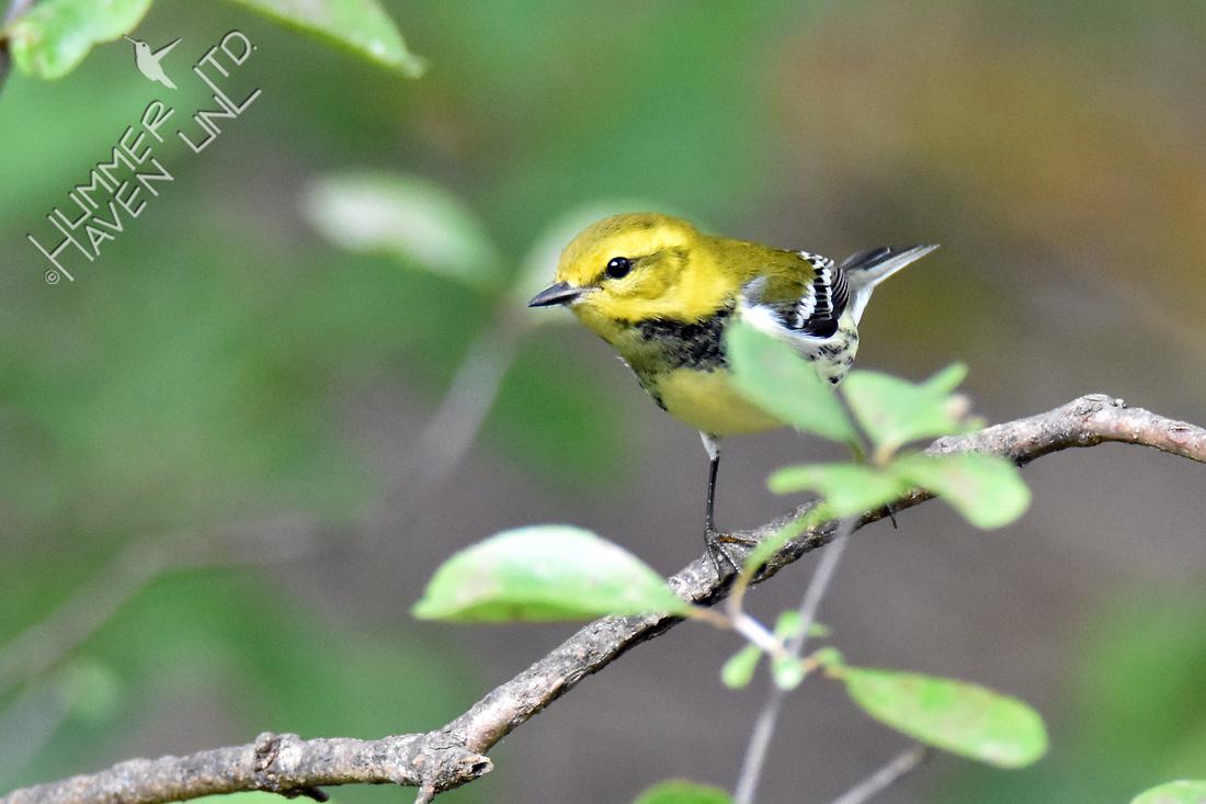 Black-throated Green Warbler 9-30-16