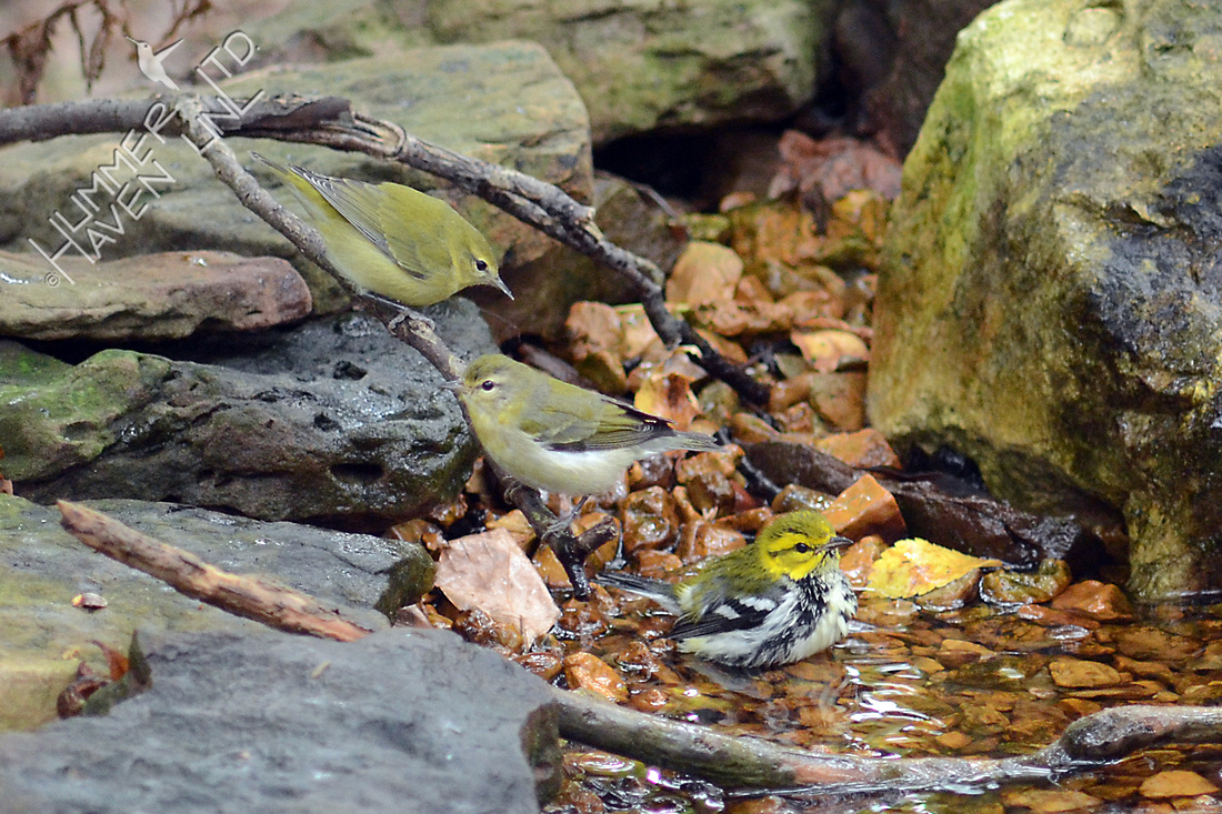 Tennessee and Black-throated Green Warblers