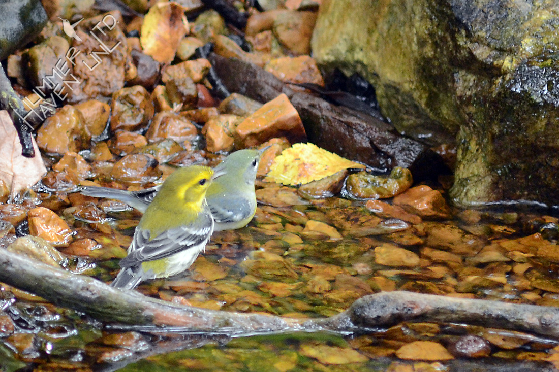 Black-throated Green Warbler and Northern Parula