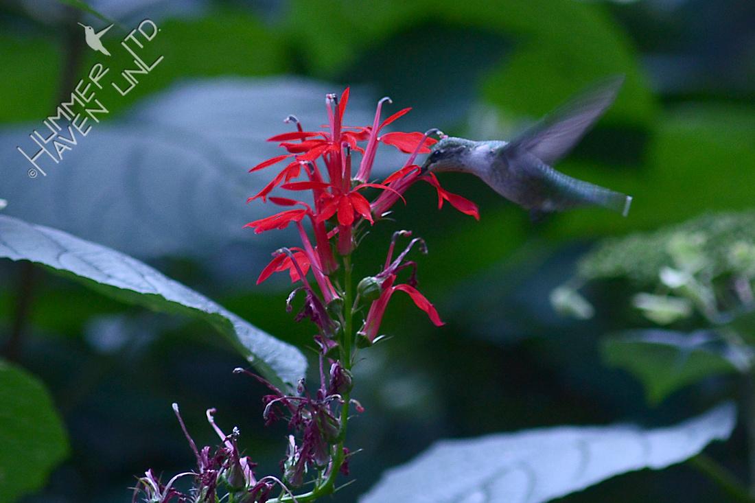Ruby-throated Hummingbird at Cardinalflower (Lobelia cardinalis)