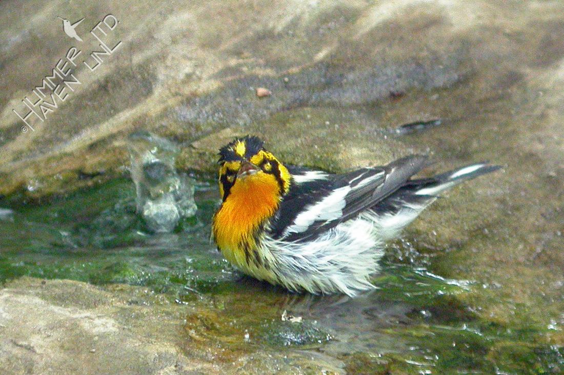 5-7-2-03 Blackburnian Warbler