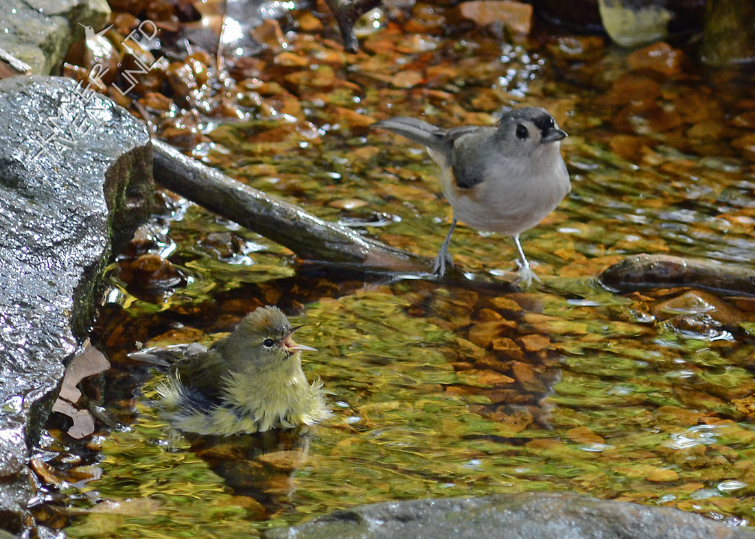 Orange-crowned Warbler and Tufted Titmouse