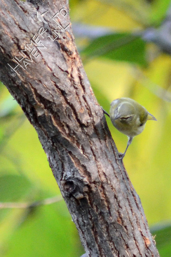 Tennessee Warbler finding insects on American Elm