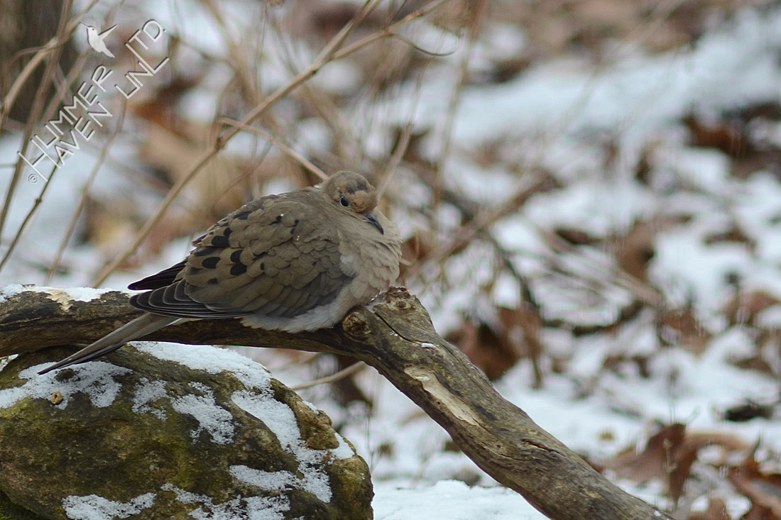 Mourning Dove resting on 1/17/16
