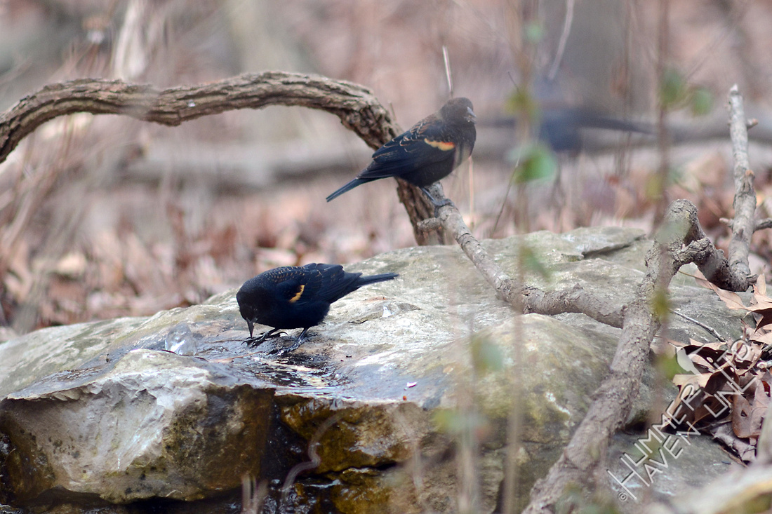 Red-winged Blackbirds at the Bubbler 1/27/16