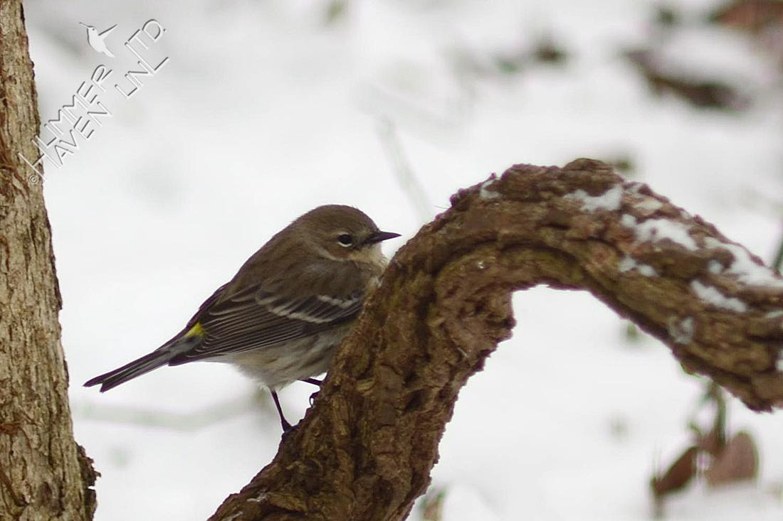 Yellow-rumped Warbler 1/21/16