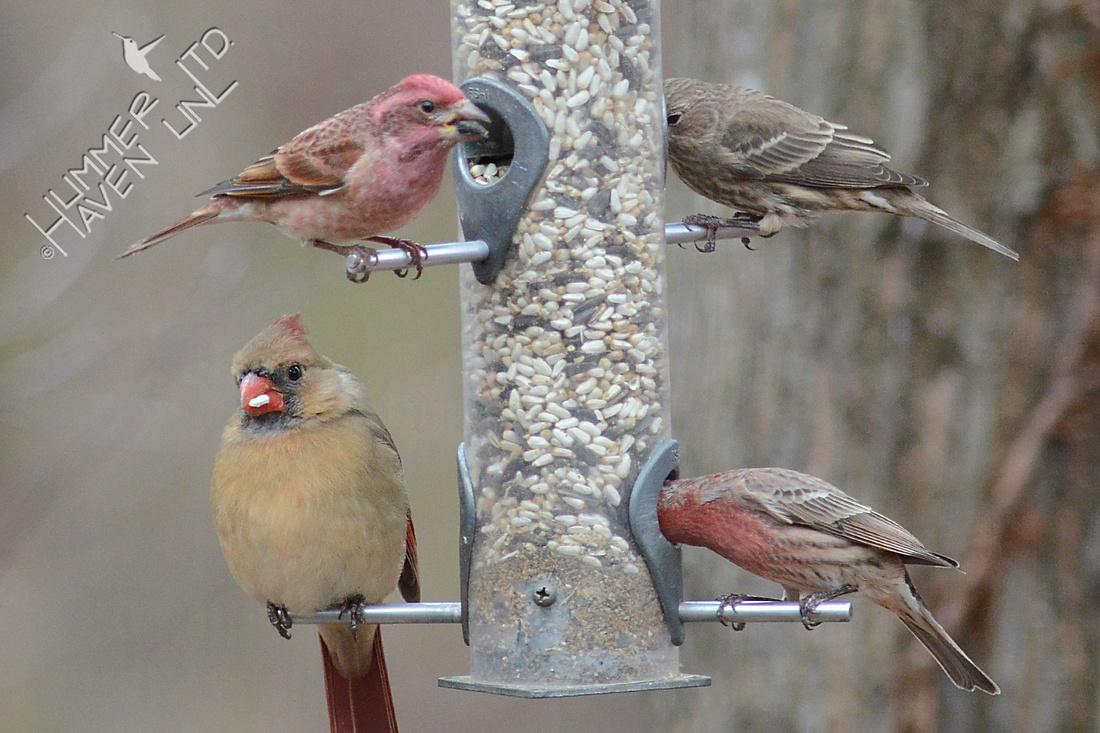 Purple Finch, upper left