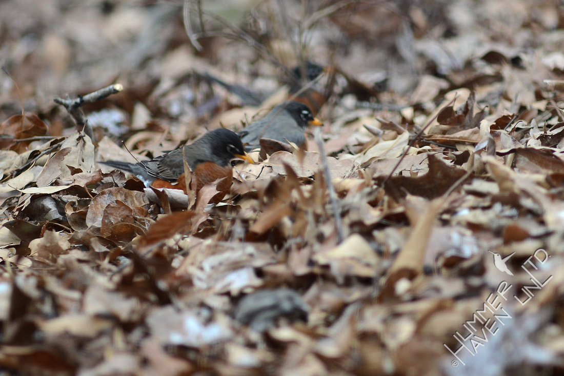 American Robins foraging in leaf litter 1/19/16