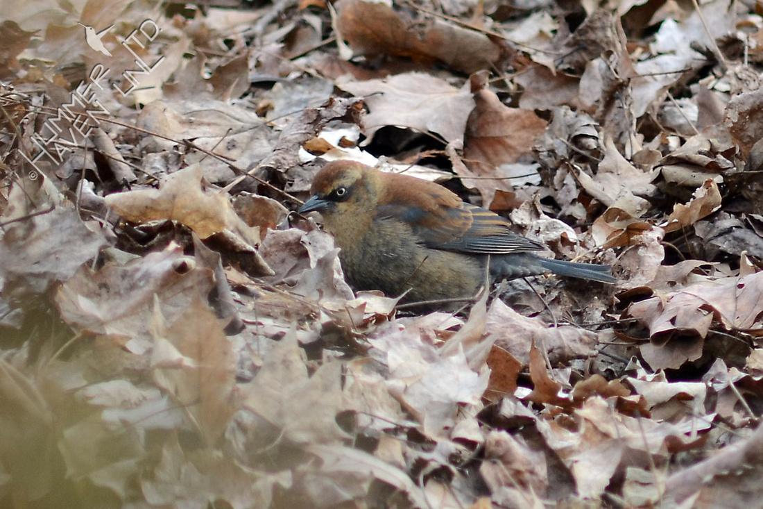 Rusty Blackbird female on 1/16/16