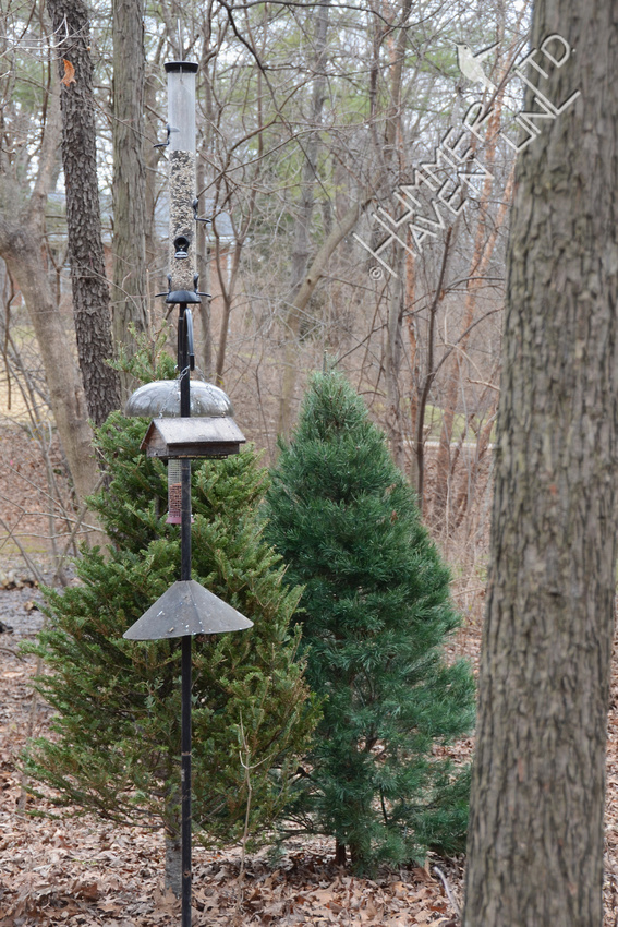 Christmas Trees by the bird feeder