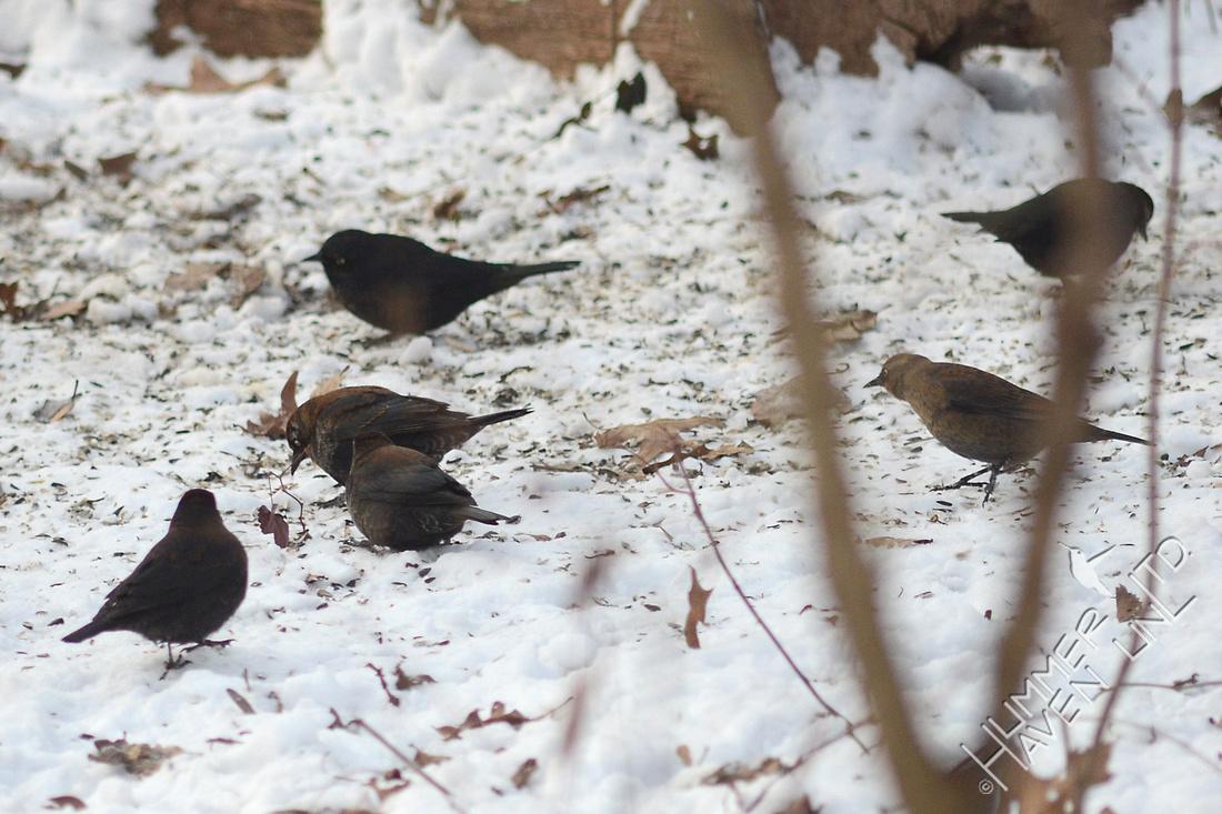 Six Rusty Blackbirds 1/22/16