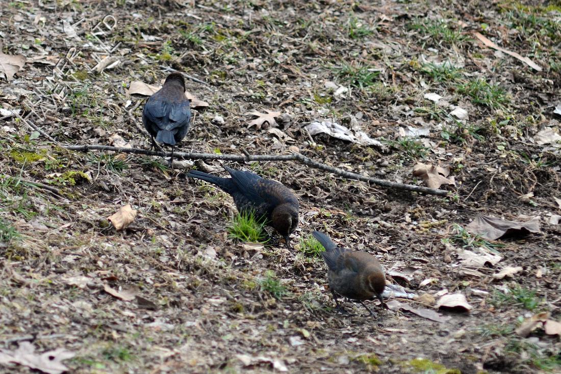 Rusty Blackbirds, one with slug on 1/16/16