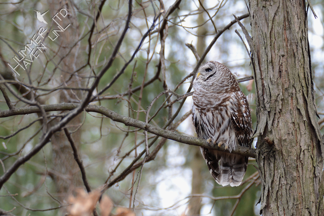 Barred Owl 3-8-16