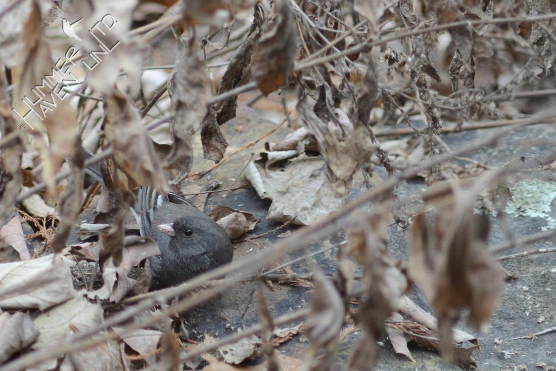 Dark-eyed Junco eating Cliff Goldenrod seeds