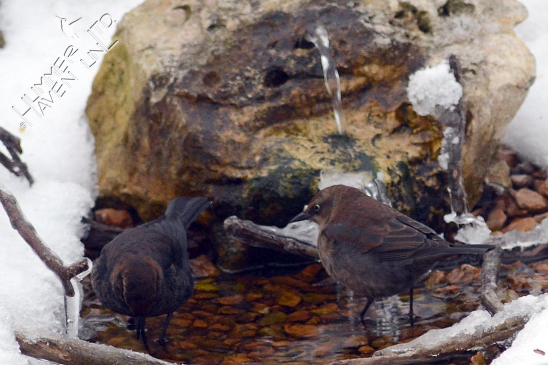 Rusty Blackbirds 1/21/16