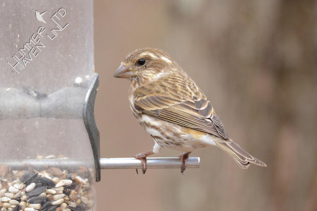 Purple Finch female 3-4-16