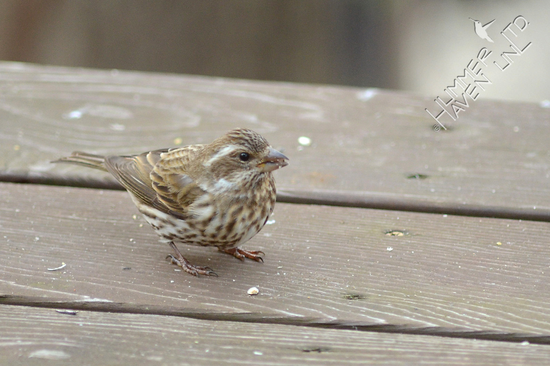Purple Finch female 1/25/16